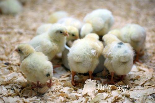 Chickssf
