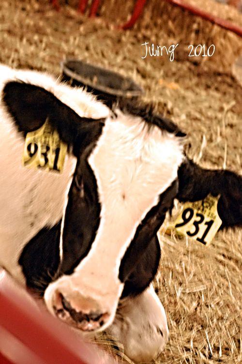 Cowsf